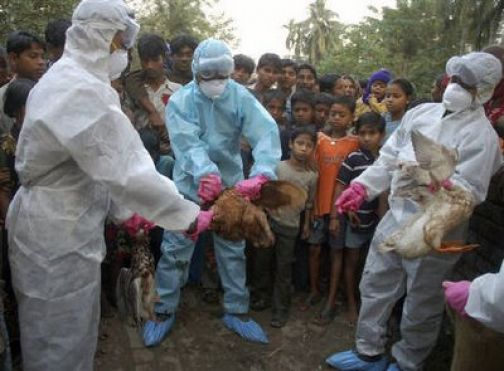 אירוניה: מספר עופות חלו בשפעת החזירים