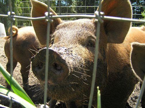 שפעת החזירים: רוב החזירים עדיין לא התחסנו