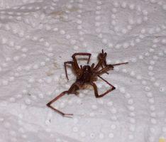 אישה משוכנעת שהעכביש הזה היה ארסי