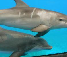 מחקר: שחייה עם דולפינים גורמת להם להוליד דולפינים אוטיסטיים